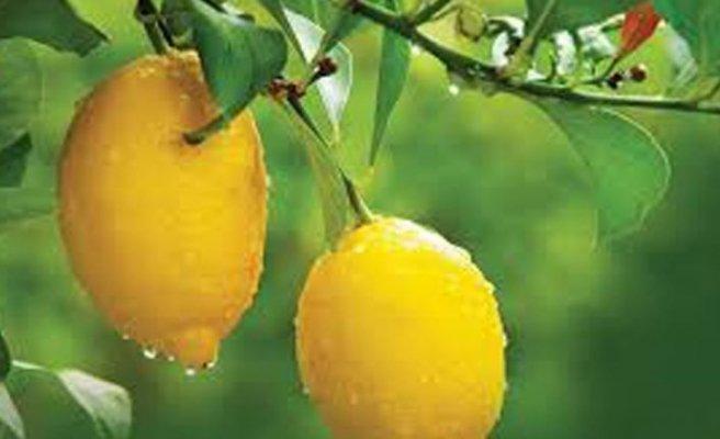Narenciye ülkesiyiz ama 1 kilo limon 20 TL