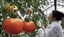 Japonya'da gen dizilimiyle oynanmış domatesler satışta: Tansiyonu düşürecek